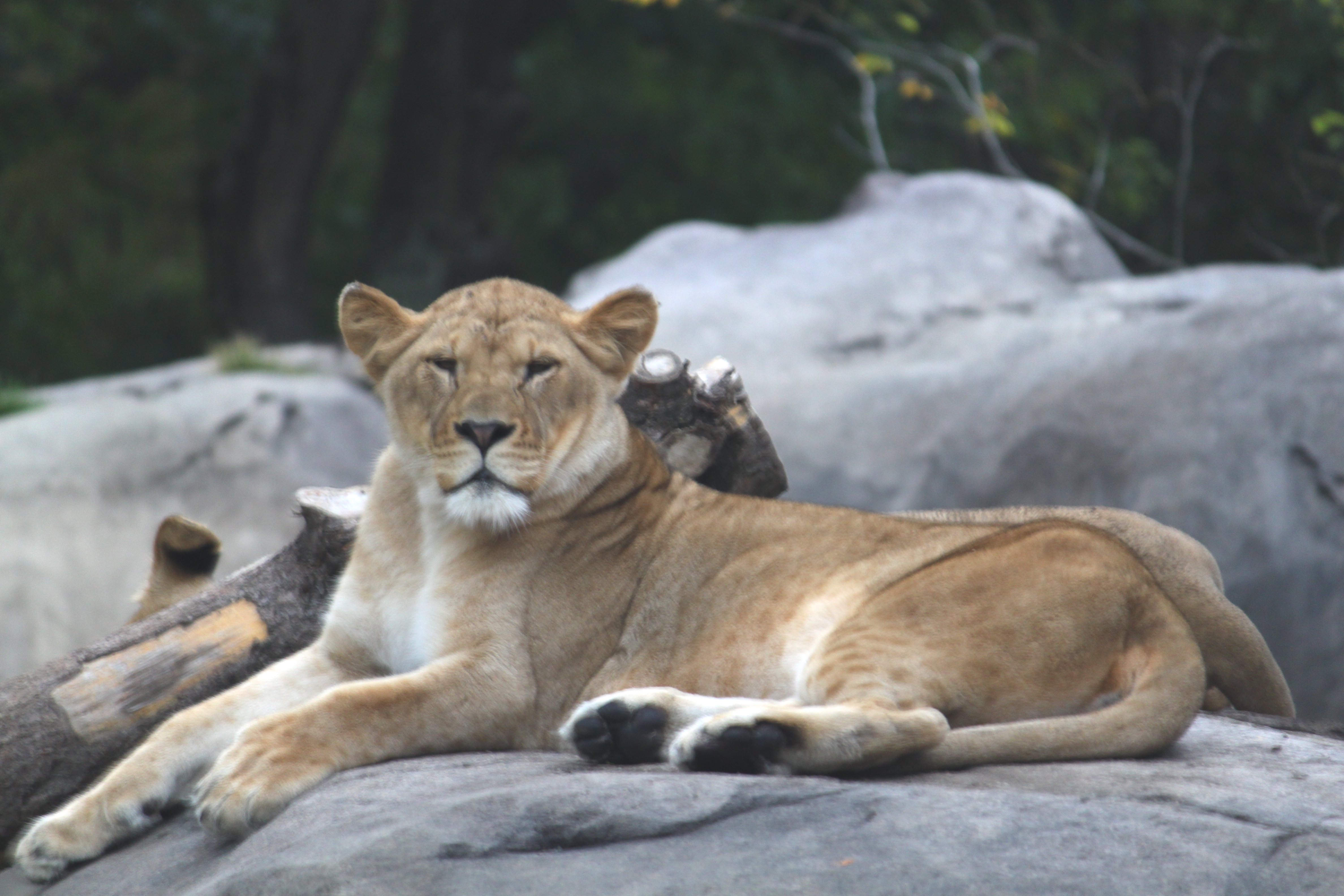 Chill Pill - Like a lion resting on rocks.